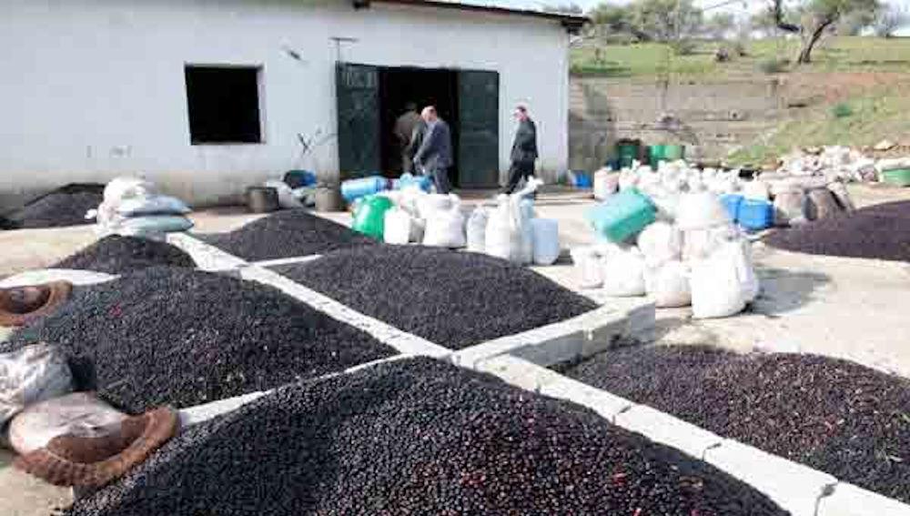 Tizi-Ouzou : malgré les feux de l'été dernier, la récolte oléicole serait en hausse