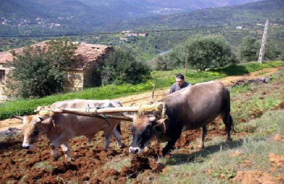 L'INTERDICTION DE LA CHASSE A EU RAISON DE L'AGRICULTURE DE MONTAGNE EN KABYLIE